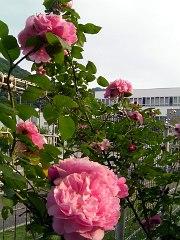 rose090523no3.JPG
