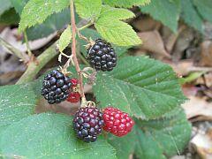 bkberry200807.jpg