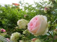 rose090523no1.JPG