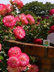 rose20090531no4.JPG